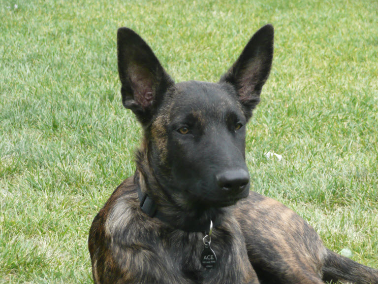 Showing Gallery For Dutch Shepherd Greyhound Mix